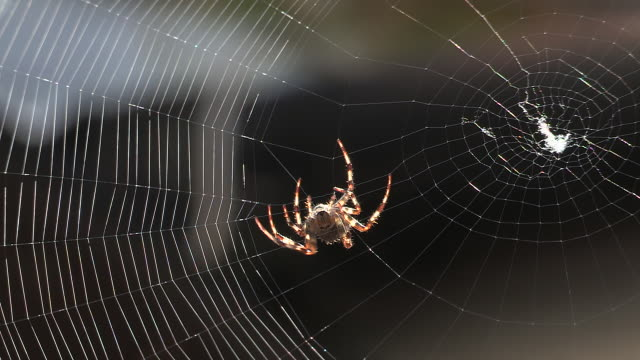 Spider weaving a web
