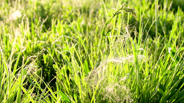 CU DS Spider Web In The Grass