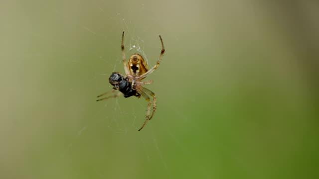 Spider with cobwebder