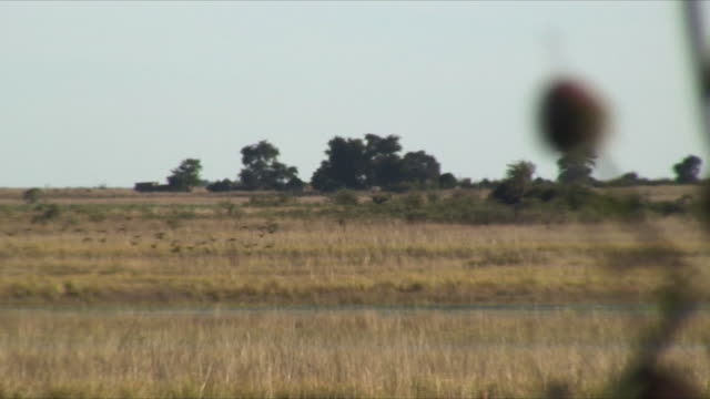WS R / F Spiky weed in foreground and birds flying in background / Chobe National Park, Zambia