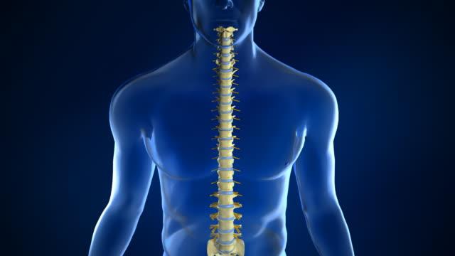 Spine Anatomy with Intervertebral Disc