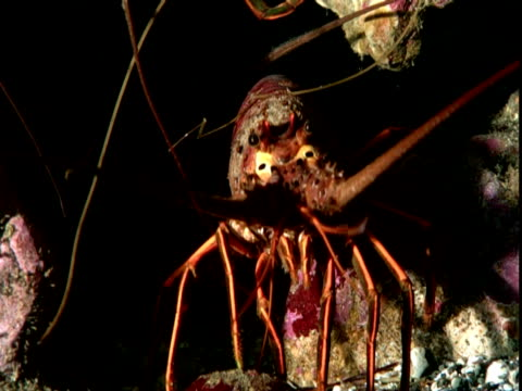 Spiny lobsters hide in rocks as sheephead fish swim past.