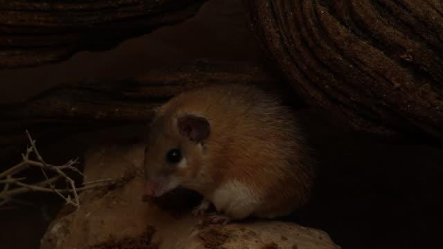 Spiny Mouse (Acomys cahirinus)  on sandston shelf at night