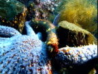 A spiny sea cucumber glides over the body of a blue sea star in Telegraph Cove.