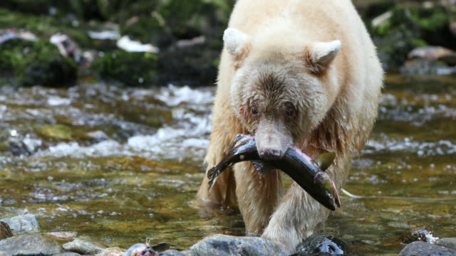 Spirit Bear (Ursus americanus kermodei) carrying a freshly caught Pink Salmon