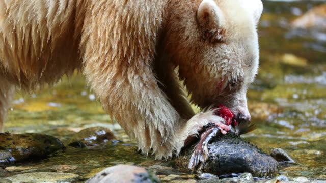 Spirit Bear (Ursus americanus kermodei) eating a Pink Salmon