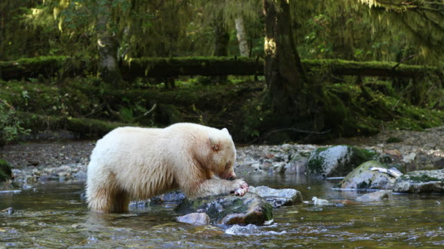 Spirit Bear (Ursus americanus kermodei) eating a salmon on a rock in a river