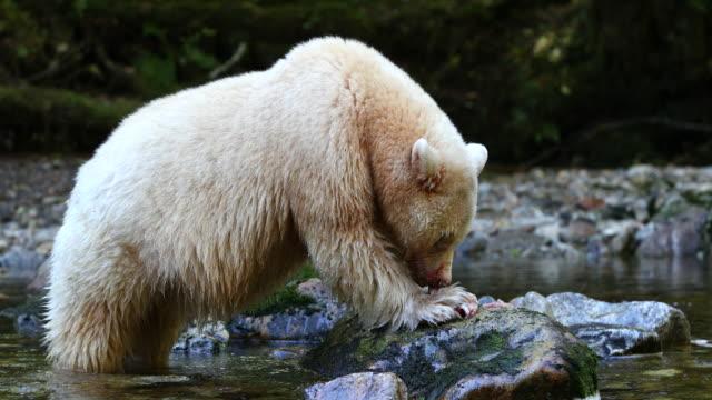 Spirit Bear (Ursus americanus kermodei) eating a salmon on a rock in the river