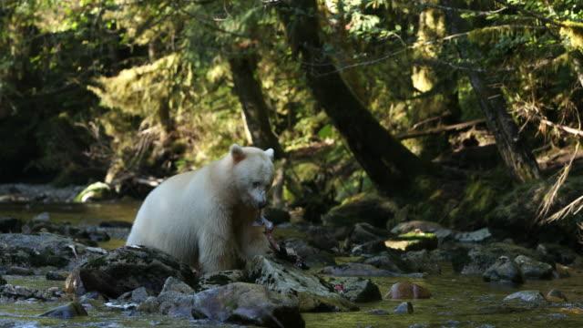 Spirit Bear (Ursus americanus kermodei) fishing on a river in evening light