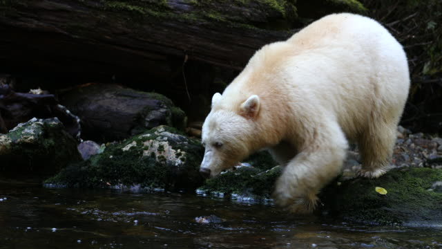 Spirit Bear (Ursus americanus kermodei) hunting salmon. Leaps into river but misses fish.