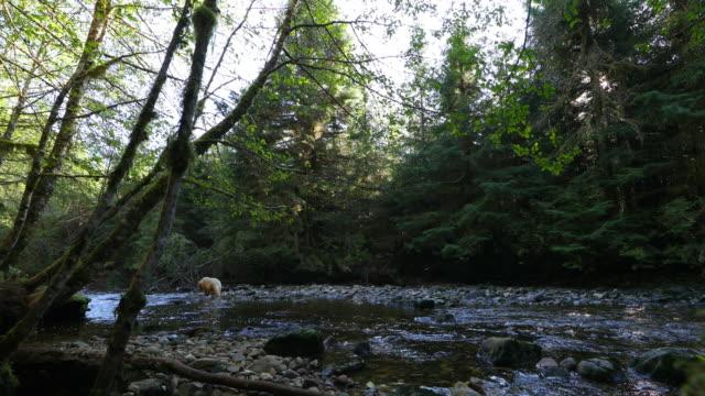 Spirit Bear (Ursus americanus kermodei) in Great Bear Rainforest, wide shot