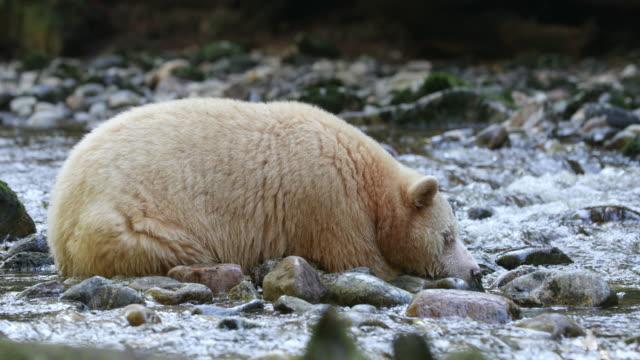 Spirit Bear (Ursus americanus kermodei) sleeping in a riverbed
