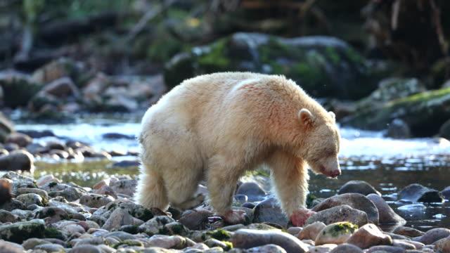 Spirit Bear (Ursus americanus kermodei) walking across riverbed, backlit