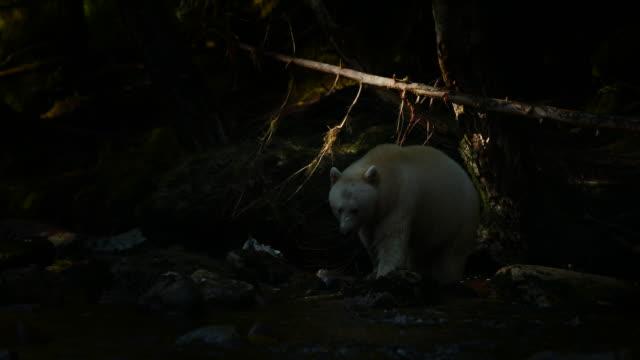 Spirit Bear (Ursus americanus kermodei) walking through a ray of light in dark rainforest