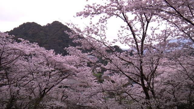 Spoil Tip And Cherry Blossoms, Fukuoka, Japan