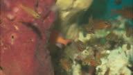 Sponge, clownfish, glassfish, others, close up. Indonesia