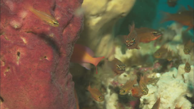 Sponge, clownfish, glassfish, others, close up. Indonesia