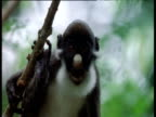 Spot nosed guenon calls in tree, Africa