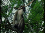 Spot nosed guenon sits on branch looking around, then leaps off, West Africa