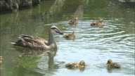 Spotbill ducklings swim around their mother as she forages in a pond.