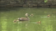 Spotbill ducklings swim around their mother in a pond.