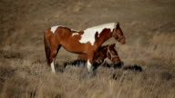 Spotted Brown Horses Grazing in Field