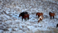 Spotted Brown Horses Grazing in snow Field