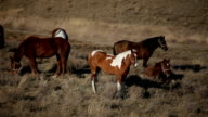Spotted Brown Horses