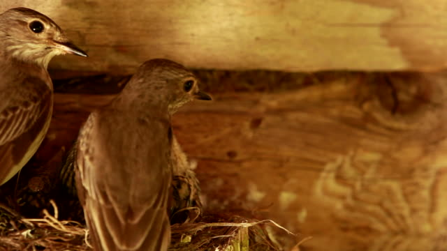 Spotted Flycatcher parent give eat to child