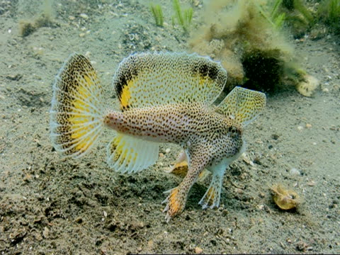 A spotted handfish walks over the seabed.