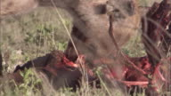 Spotted hyena feeds ona carcass. Available in HD.
