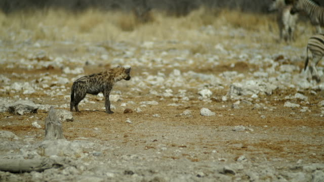 MS TS Spotted hyenas and Zebras  in savannah / Namibia