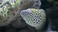Spotted moray in coral reef