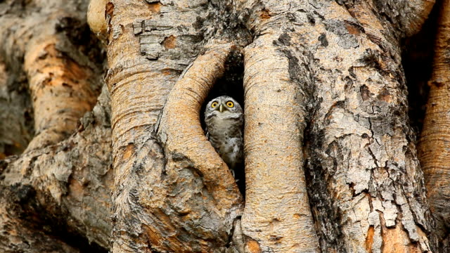 Spotted owlet , Athene brama , alert and sing loud out
