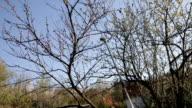 Spraying home fruit trees