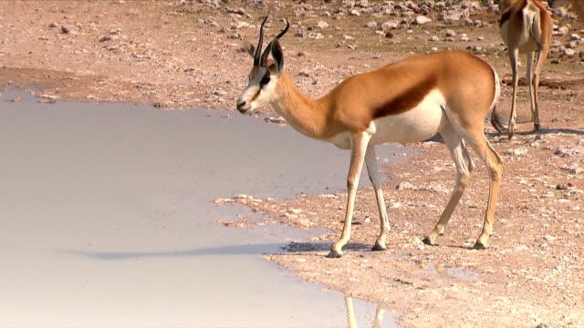 Spring boks drinking water/ Etosha National Park/ South Africa