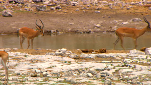 Spring boks playing by a water hole/ Etosha National Park/ South Africa