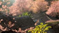 Frühling Kirschblüte sakura Blumen Hintergrund