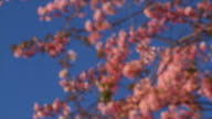 Spring Cherry blossoms