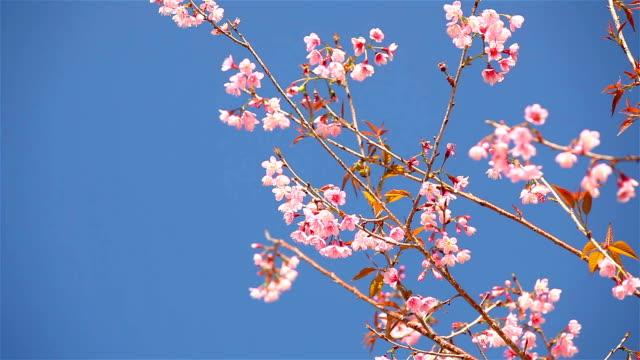 Lente Cherry blossoms