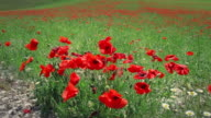Spring Field Blooming with Poppies