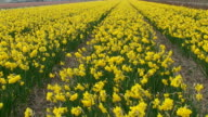 Spring. Field of yellow jonquil