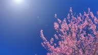 Frühling Rosa Kirschblüte und blauer Himmel, 4 k (UHD