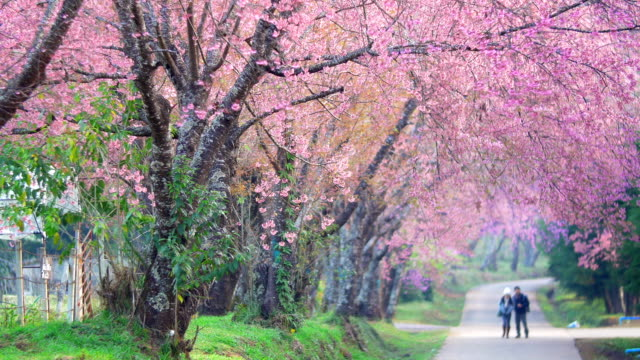Spring Pink Cherry Blossoms