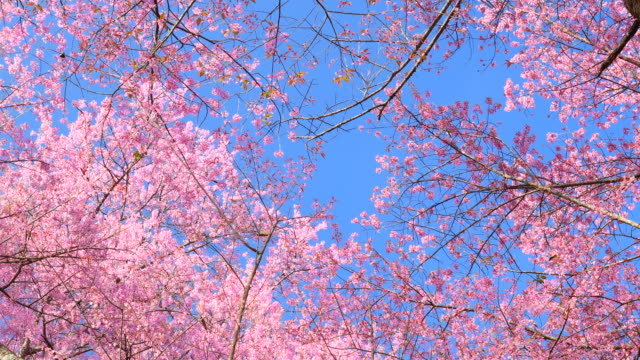 Frühling rosa Kirschblüten mit blauer Himmel Hintergrund