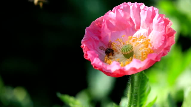 Spring pink flower with bee