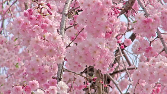 Spring scene: full blooming of pink weeping cherry flowers
