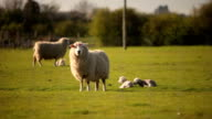 Spring sheep and lambs