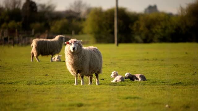 Spring sheep and lambs