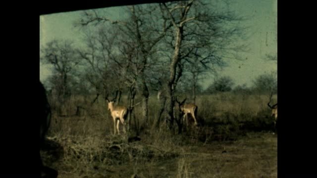 A Springbok and kudu inhabit Kruger National Park as seen from a home movie in the 1960's